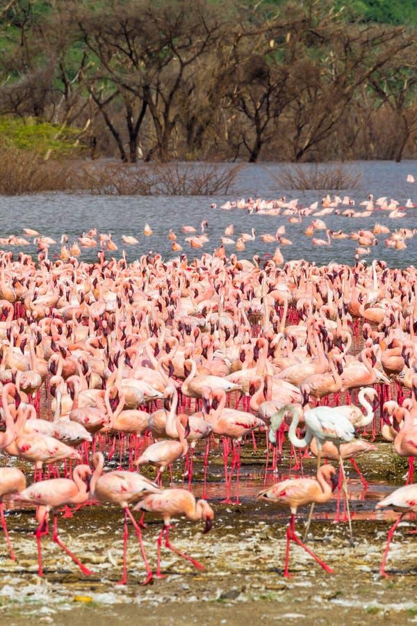 En stor rosa färg flockas på kusten av sjön Baringo Kenya Afrika royaltyfri foto