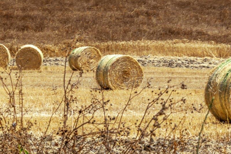 En stor rund bal av sugrör för djur matning Foder för boskap Naturligt landskap f?r bygd arkivbilder