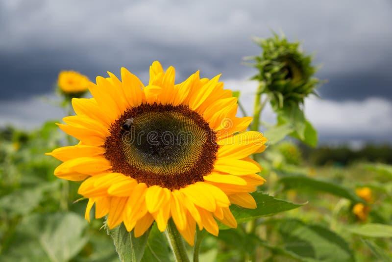 En stor solros i en parkera arkivfoton