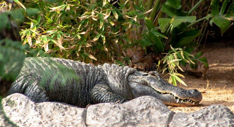 En stor sova krokodil på en sten royaltyfri bild