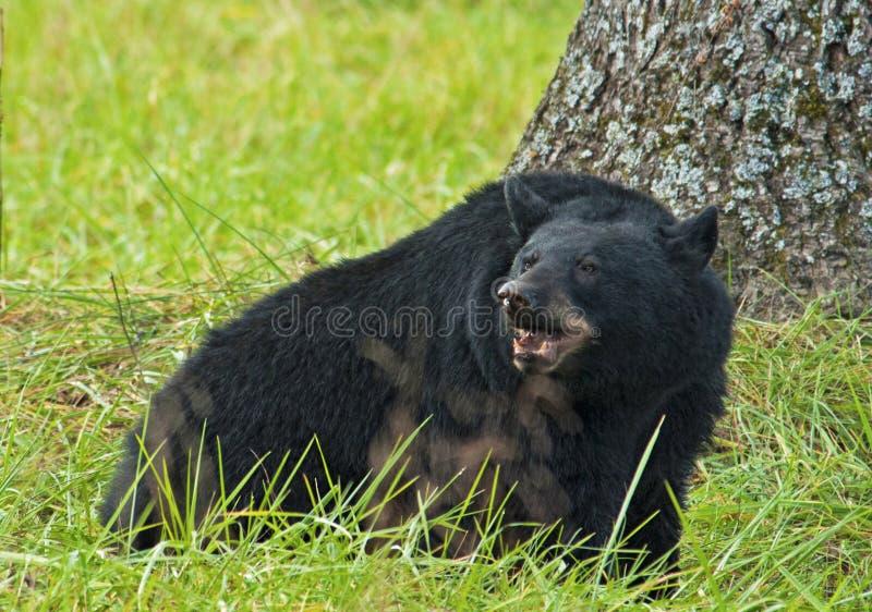 En stor svart björn äter valnötter på jordningen. royaltyfri bild