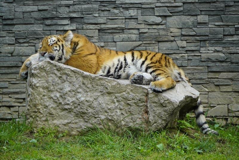 En stor tiger sover på en sten på en solens dag mot en grå tegelvägg NAP för rovdjur under eftermiddag royaltyfria bilder