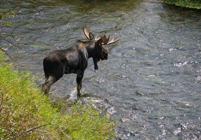 En stor tjurälg korsar en rörande flod arkivbild