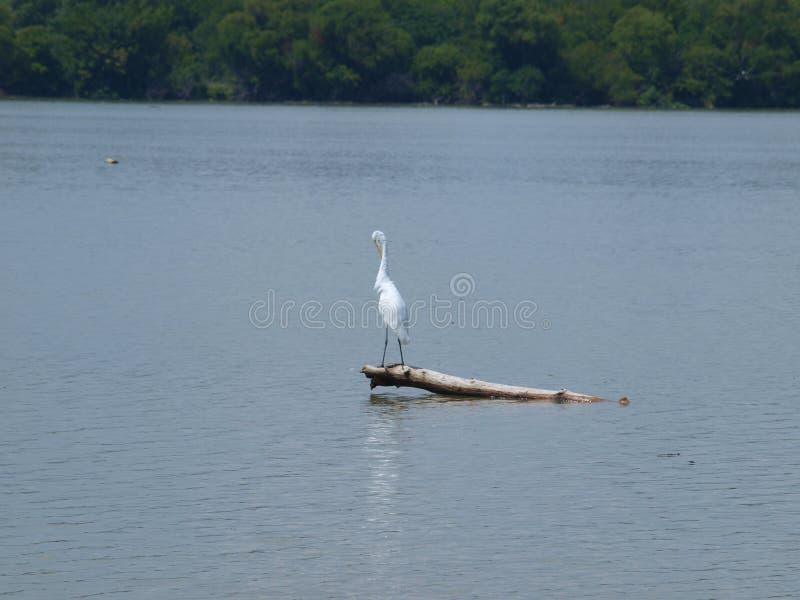 En stor vit ägretthäger gör något ansa av fjädrar royaltyfri fotografi