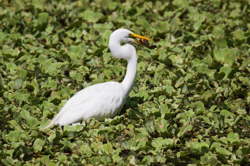 En stor vit ägretthäger på det Crokscrew träsket Florida arkivfoton