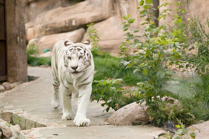 En stor, vit Bengali tiger royaltyfria bilder