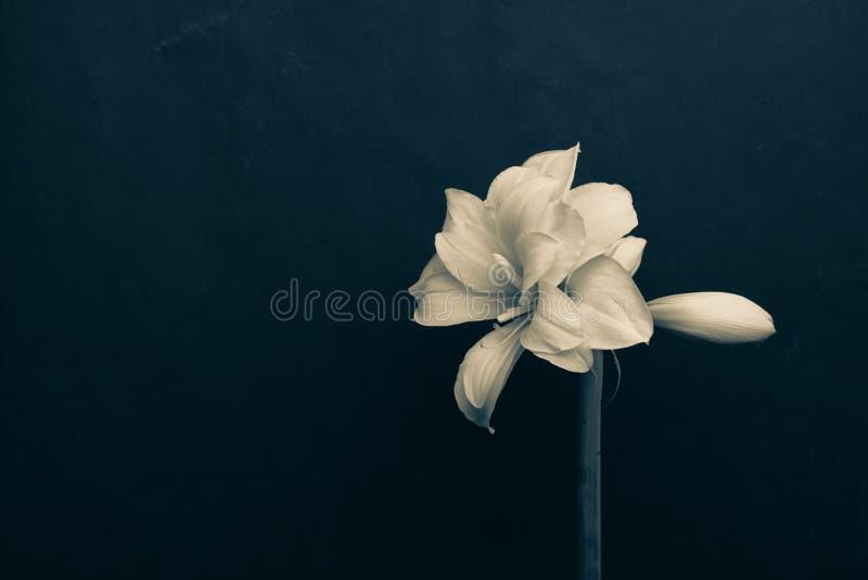 En stor vit blommande härlig blomma Amaryllis med en oöppnad knopp royaltyfria bilder