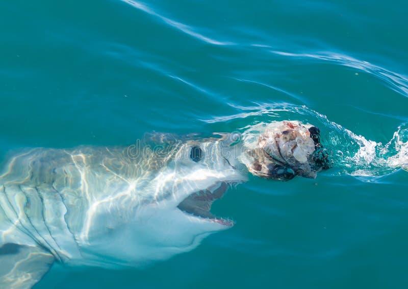 En stor vit haj omkring som ytbehandlar royaltyfria bilder