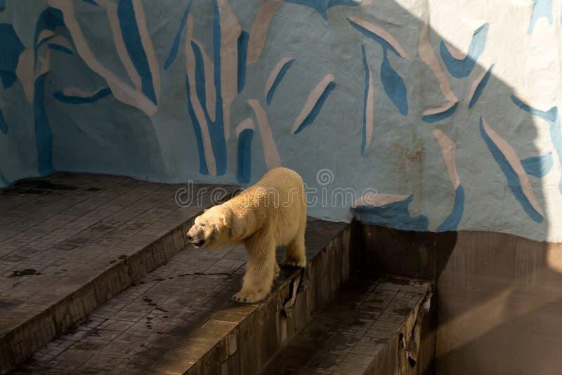 En stor vit isbjörn går arkivfoto