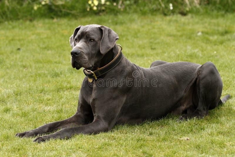 En stora Dane Dog arkivbilder