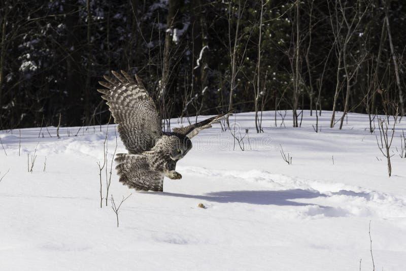 En stora Grey Owl i flykten fotografering för bildbyråer