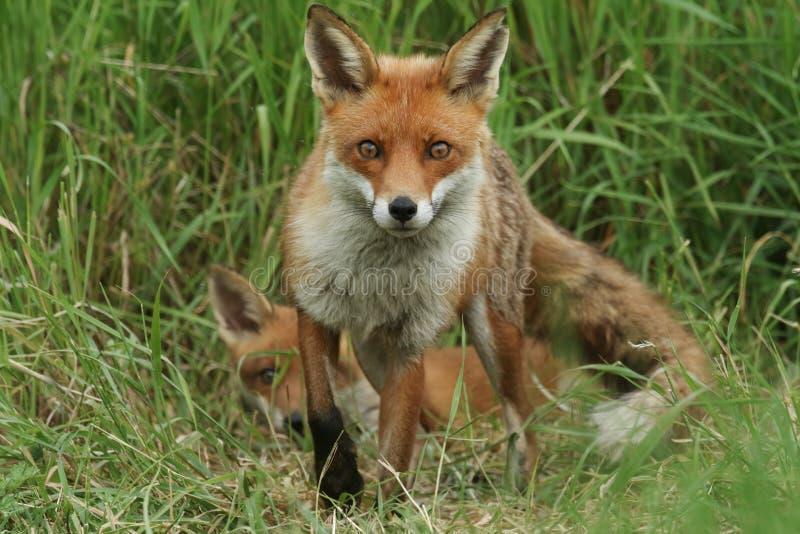 En storartad lös röd räv, Vulpesvulpes som står i långt se för gräs Dess gulliga gröngöling kan vara sett ligga ner bak den arkivfoto