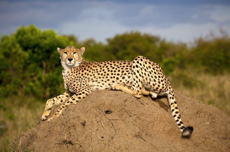 En storartad manlig gepard sitter uppe på en termitkulle i Kenya arkivfoton