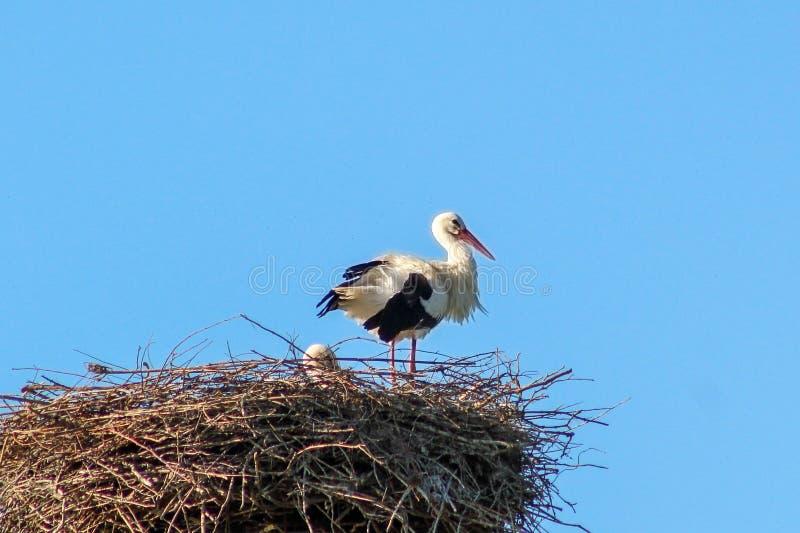 En stork i dess bygga bo royaltyfri foto