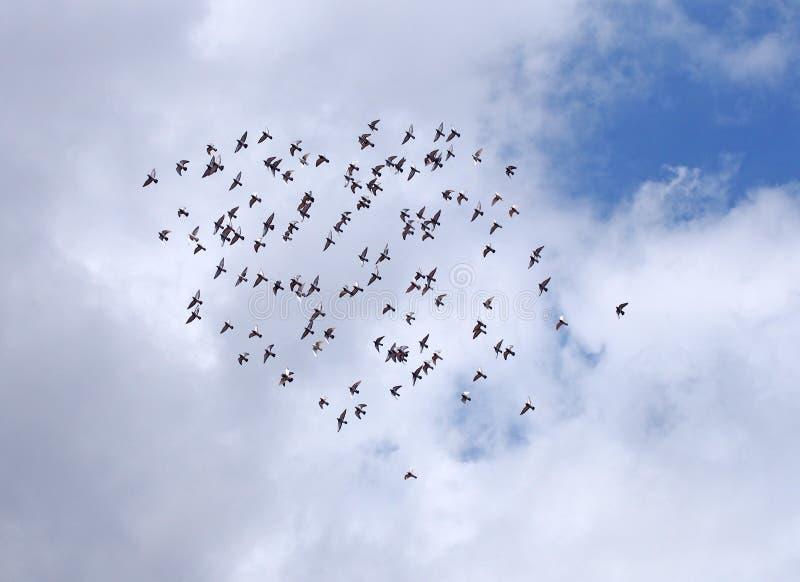 En stramt grupperad flock av att cirkla duvor som högt flyger under ljusa vita moln och en blå himmel royaltyfria bilder