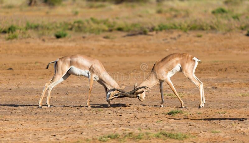 En strid av två Grant Gazelles i savannahen av Kenya royaltyfria bilder