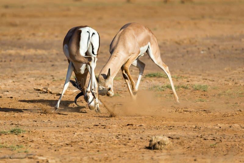 En strid av tv? Grant Gazelles i savannahen av Kenya royaltyfri foto