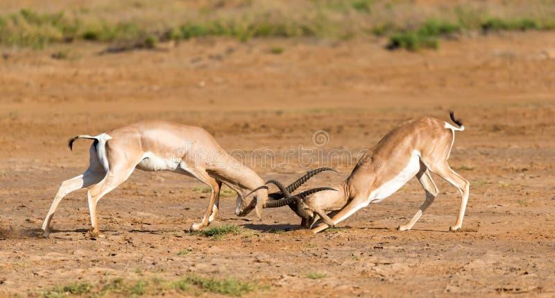 En strid av tv? Grant Gazelles i savannahen av Kenya fotografering för bildbyråer