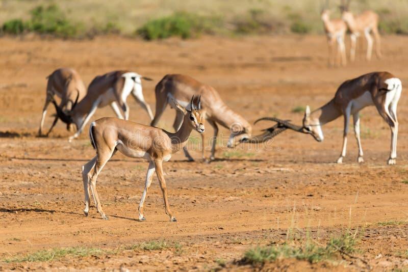 En strid av tv? Grant Gazelles i savannahen av Kenya royaltyfria foton