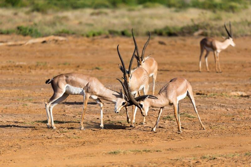 En strid av tv? Grant Gazelles i savannahen av Kenya royaltyfria bilder