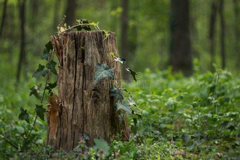 En stubbe i en grön skog arkivbilder