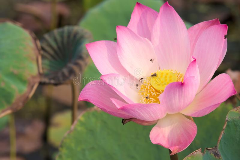 En stunningly härlig närbild av rosa färger och en guling fullständigt-blommad lotusblommablomma, i en frodig thailändsk trädgård royaltyfria bilder