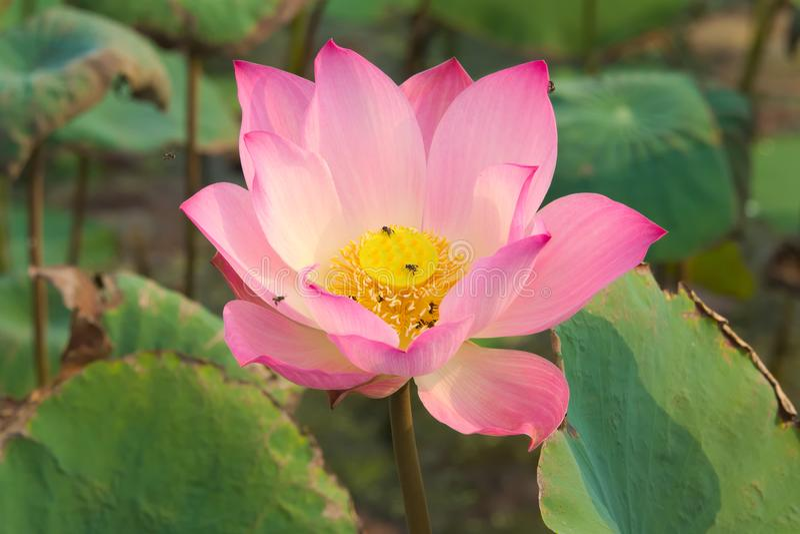 En stunningly härlig närbild av rosa färger och en guling fullständigt-blommad lotusblommablomma, i en frodig thailändsk trädgård arkivfoton