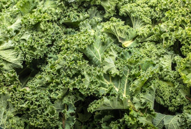 En sund ny lockig grönkål royaltyfri bild