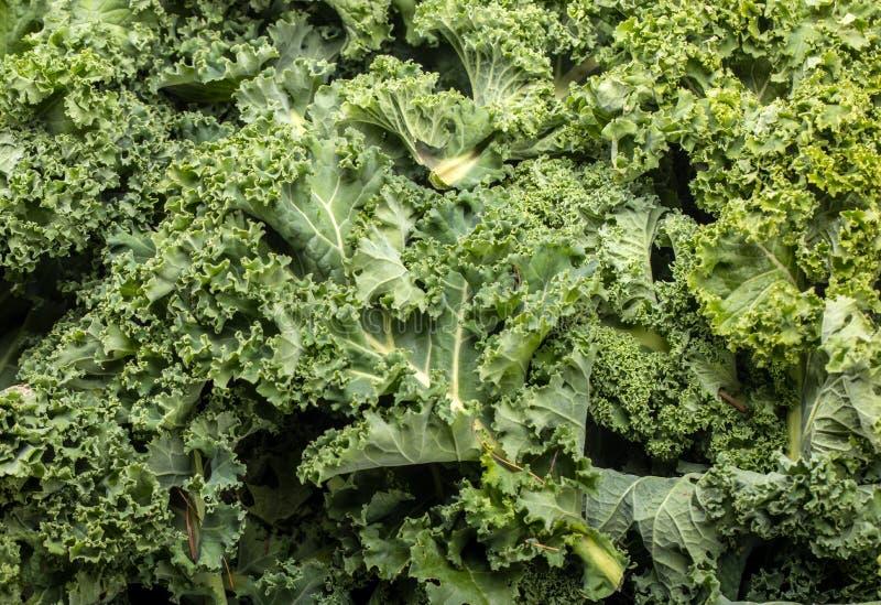 En sund ny lockig grönkål arkivbild