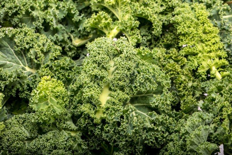 En sund ny lockig grönkål royaltyfria foton