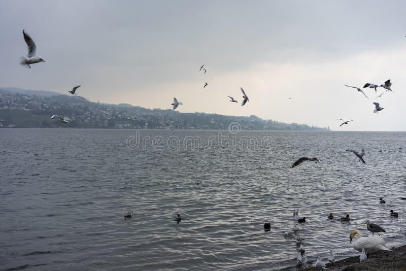 En svärm av fåglar på det sjözurich simning och flyget i vintern arkivfoton