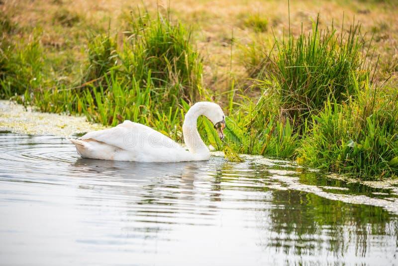 En svan är på en flod, medan söka för mat royaltyfria bilder