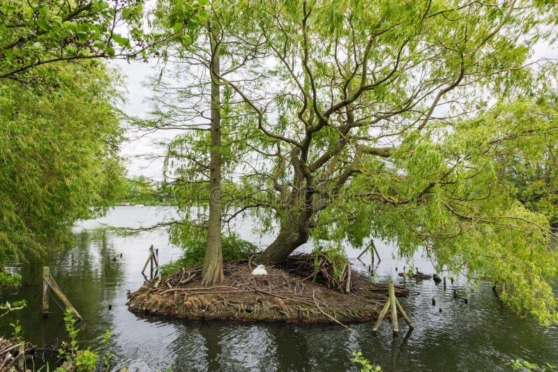 En svan bygger dess rede på en liten ö på södra Norwood Lake, royaltyfria bilder
