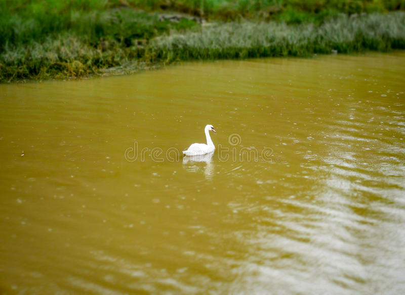 En svan i regnet royaltyfria foton