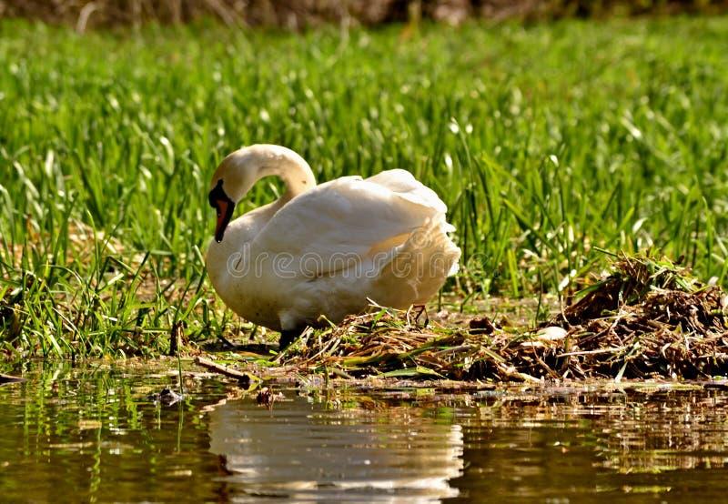 En svan på ett rede med ett ägg royaltyfri foto