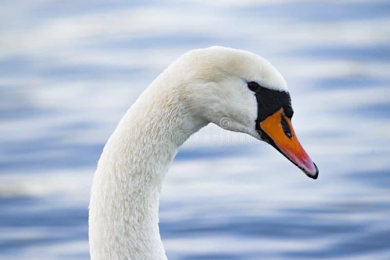 En svan som svävar på sjön En stående av en vit svan royaltyfri fotografi
