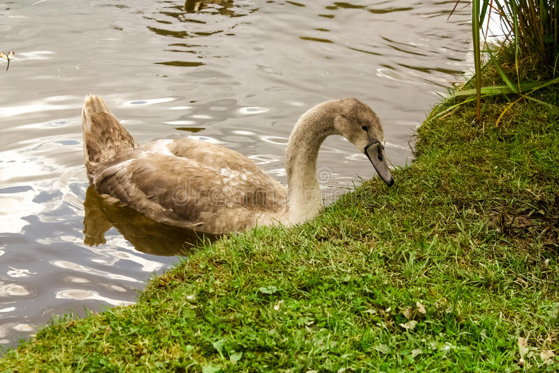En svan vid flodbanken royaltyfria foton