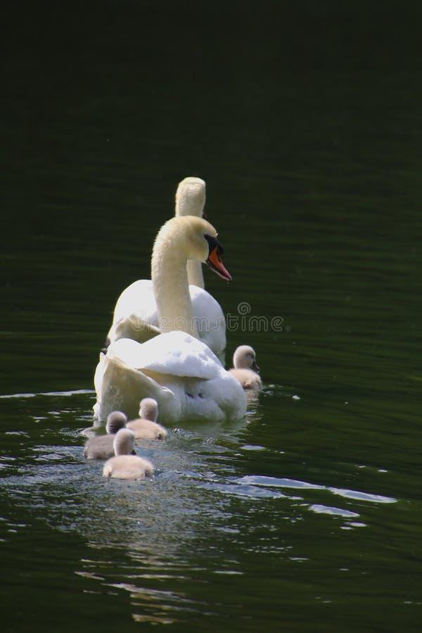 En svanfamilj med fyra fågelungar som simmar i sjön arkivfoto