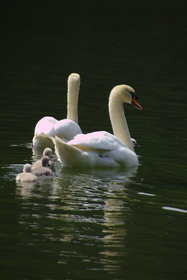 En svanfamilj med tre fågelungar som simmar i sjön arkivbild