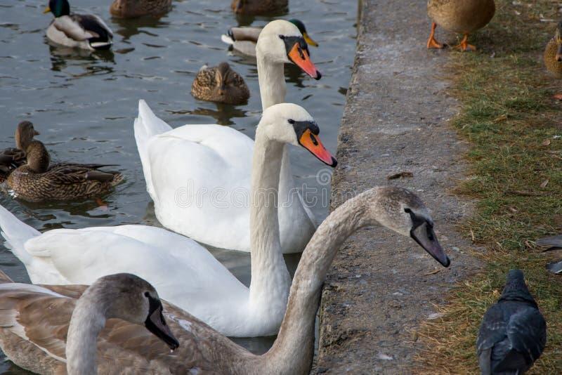 En svanfamilj med vuxna kycklingar föder på en frusen sjö vid piren Vintering av flyttfåglar royaltyfri foto