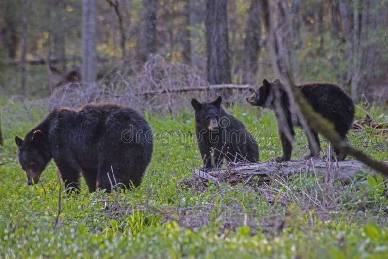 En svart björn för moder har tre gröngölingar som ska skötas royaltyfria foton