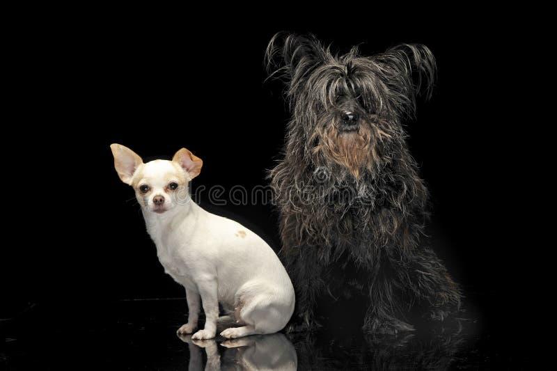 En svart byracka och en Chihuahua i mörk bakgrund arkivfoto