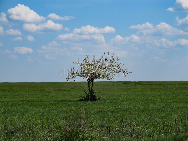 En svart fågel sitter på en filial av ett ensamt träd som täckas med vita blommor i mitt av en ändlös grön äng mot arkivfoton
