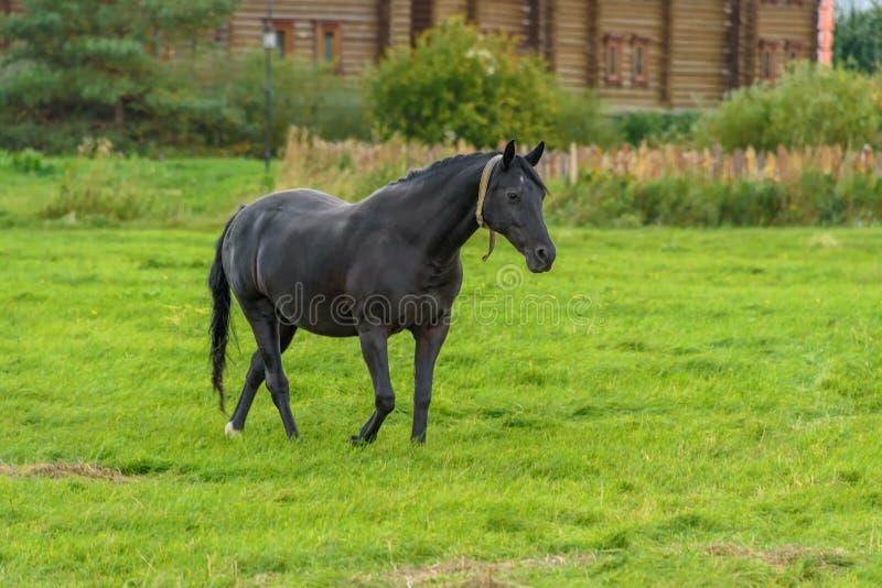 En svart häst går på en grön gräsmatta i nedgången royaltyfri bild
