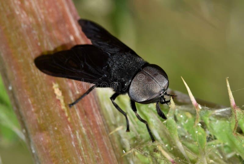 En svart hästfluga som vilar på en spetsig tistelväxt arkivfoton