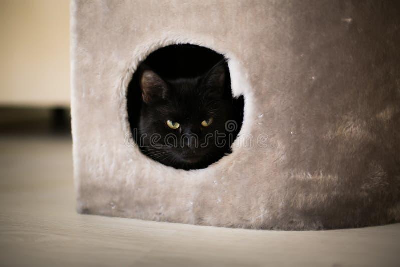 En svart katt ser ut ur hans hem arkivfoton