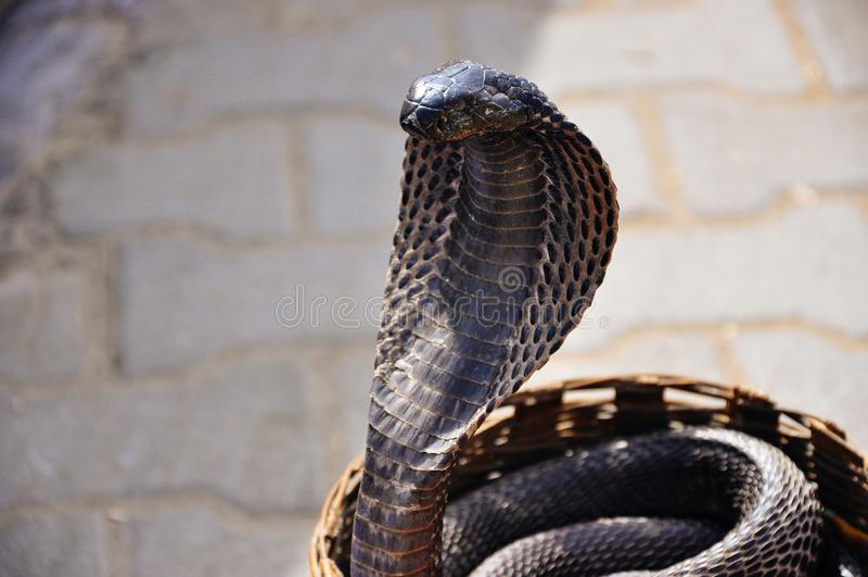 En svart kobra i Jaipur, Indien arkivfoton