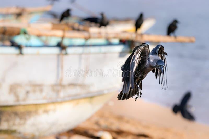 En svart korpsvart fågellandning i stranden i Galle, Sri Lanka arkivbild