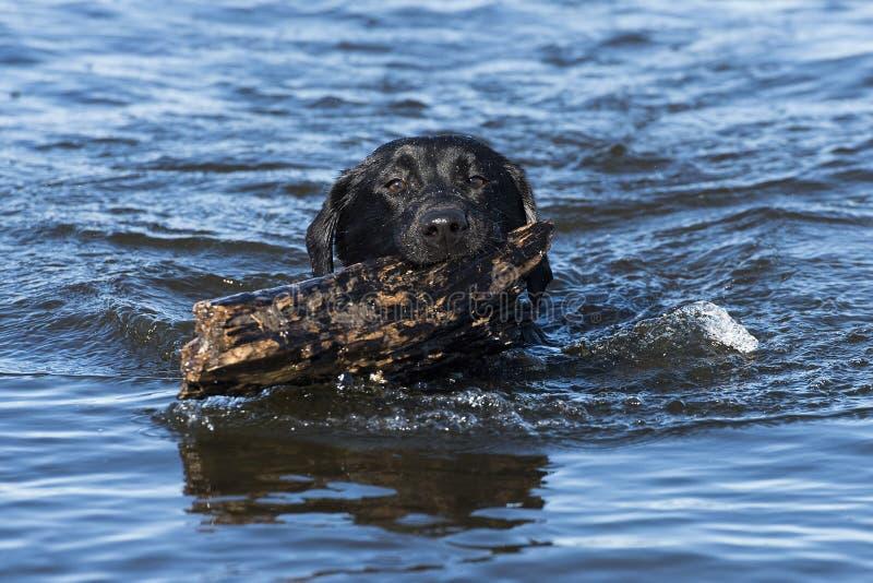 En svart labrador som hämtar en pinne arkivbild