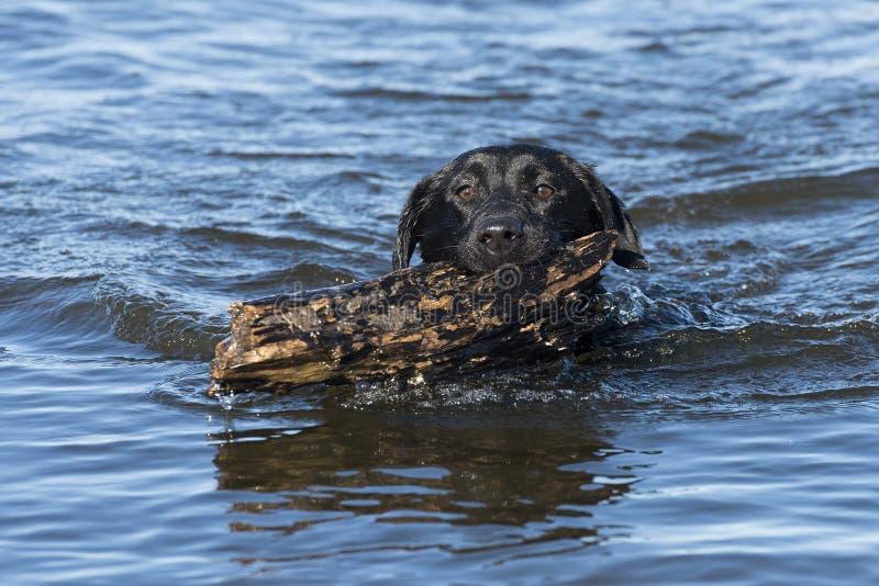 En svart labrador som hämtar en pinne fotografering för bildbyråer